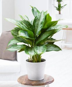 Indoor Plants that can go without sun