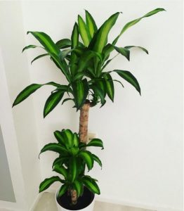 Indoor plant that can withstand sunlight